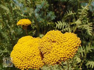 salt-lake-city-red-butte-yellow-flowers-7254